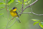 Canada warbler in greening spring woods