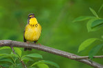 Singing Canada warbler in mid-May