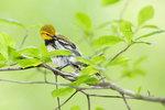 Preening black-throated green warbler in spring woods