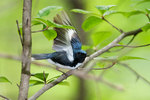Black-throated Blue Warbler taking flight