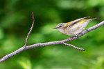 Tennessee Warbler in spring migration