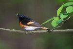 American Redstart in spring woods