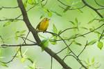 Wilson's Warbler in spring-greened woods