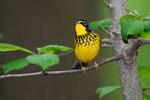 Canada warbler in prime spring plumage