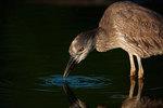 Juvenile yellow-crowned night heron taking drink