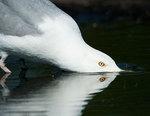 Herring gull drinking