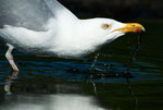 Herring gull drinking
