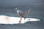 Adult and juvenile yellow-crowned night herons at puddle