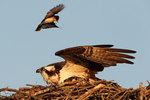 Eastern kingbird attacking osprey at nest