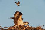 Eastern kingbird attacking osprey
