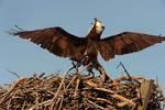 Osprey defending itself against Eastern kingbird attack