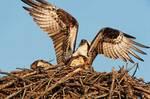 Osprey defending nest