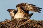 Osprey defending nest