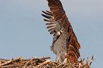 Osprey defending nest against attacking kingbird