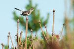 Mockingbird in early July