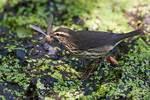 Northern waterthrush with damselfly prey