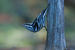 Male black and white warbler in fall migration