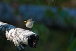 American redstart during fall migration