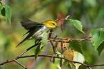 Black-throated green warbler in autumn