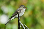 Willow flycatcher in early autumn