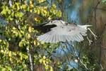 Sub-adult black-crowned night heron in flight