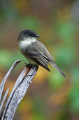 Eastern phoebe in early autumn