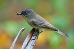 Eastern phoebe with insect prey in early autumn