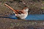 Brown thrasher in early October