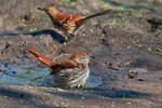 Brown thrashers in early October