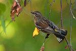 Yellow-rumped warbler in autumn migration