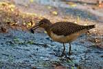 Solitary sandpiper with aquatic insect prey