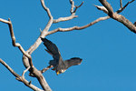 Peregrine falcon leaves perch