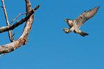 Peregrine falcon ready to land