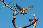 Peregrine falcon landing on snag with mate looking on