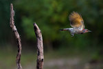 Yellow-shafted flicker leaving snag