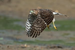 Sharp-shinned hawk flying across dried pond at eye-level