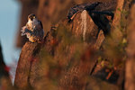 Peregrine falcon at first light