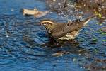Northern waterthrush bathing during fall migration