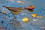 Northern waterthrush in autumn migration