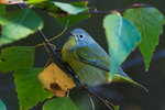 Nashville warbler in autumn migration