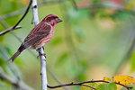 Purple finch in Fall migration