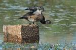 Female wood duck in eclipse during fall migration