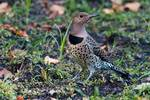 Yellow-shafted flicker on the ground