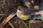 Yellow-rumped warbler in October