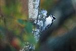 Female downy woodpecker in fall birch woods