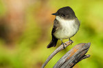 Eastern phoebe in autumn