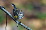 Bright male yellow-rumped warbler in autumn