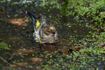 Bathing yellow-rumped warbler in October