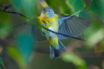 Fall Nashville warbler flight-motion