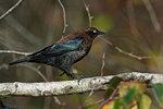 Rusty blackbird in fall migration